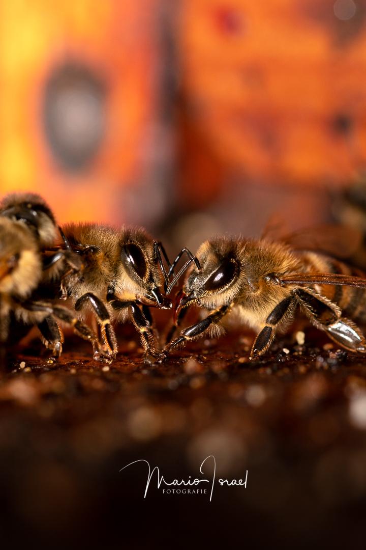 HonigBienen im Schülerbusch
