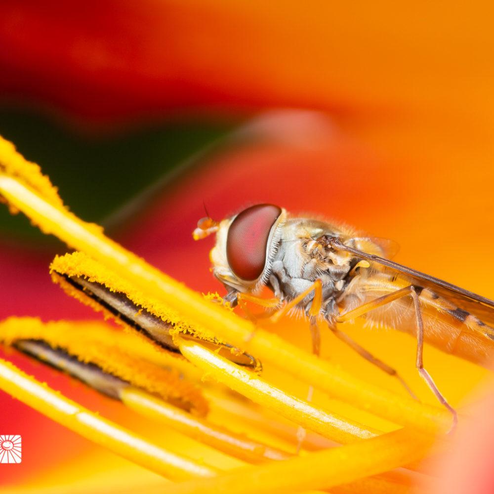 HAIN-SCHWEBFLIEGE | Episyrphus balteatus
