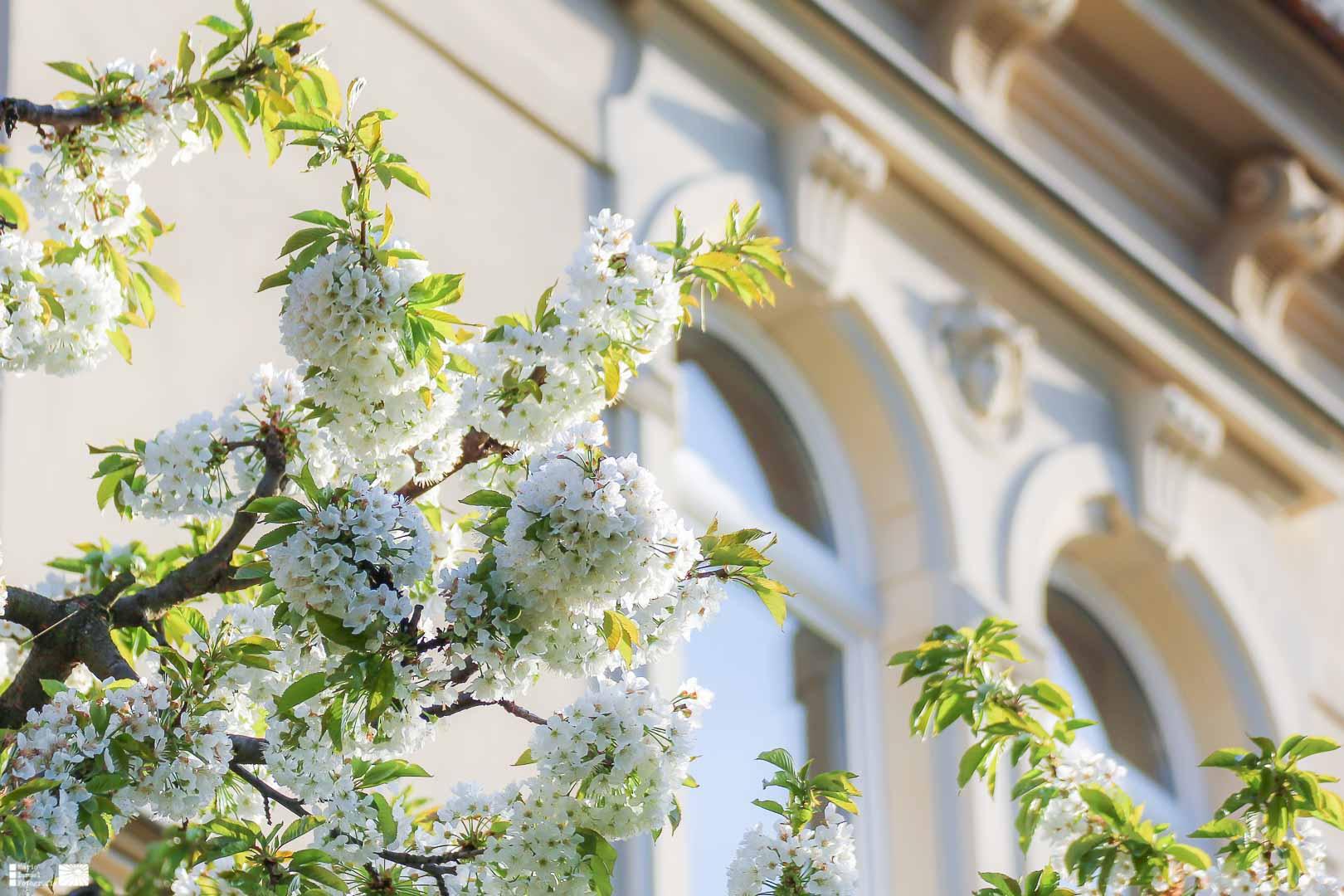 Kirschblüte am Töpferberg