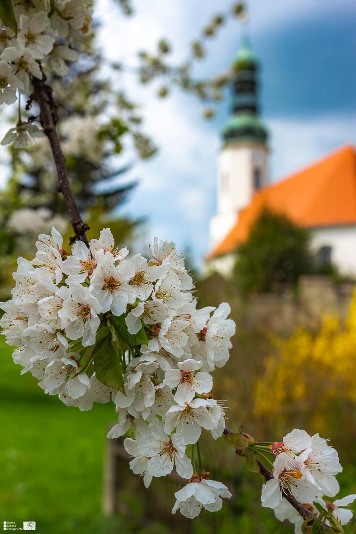 Kirschblüte in Oberseifersdorf