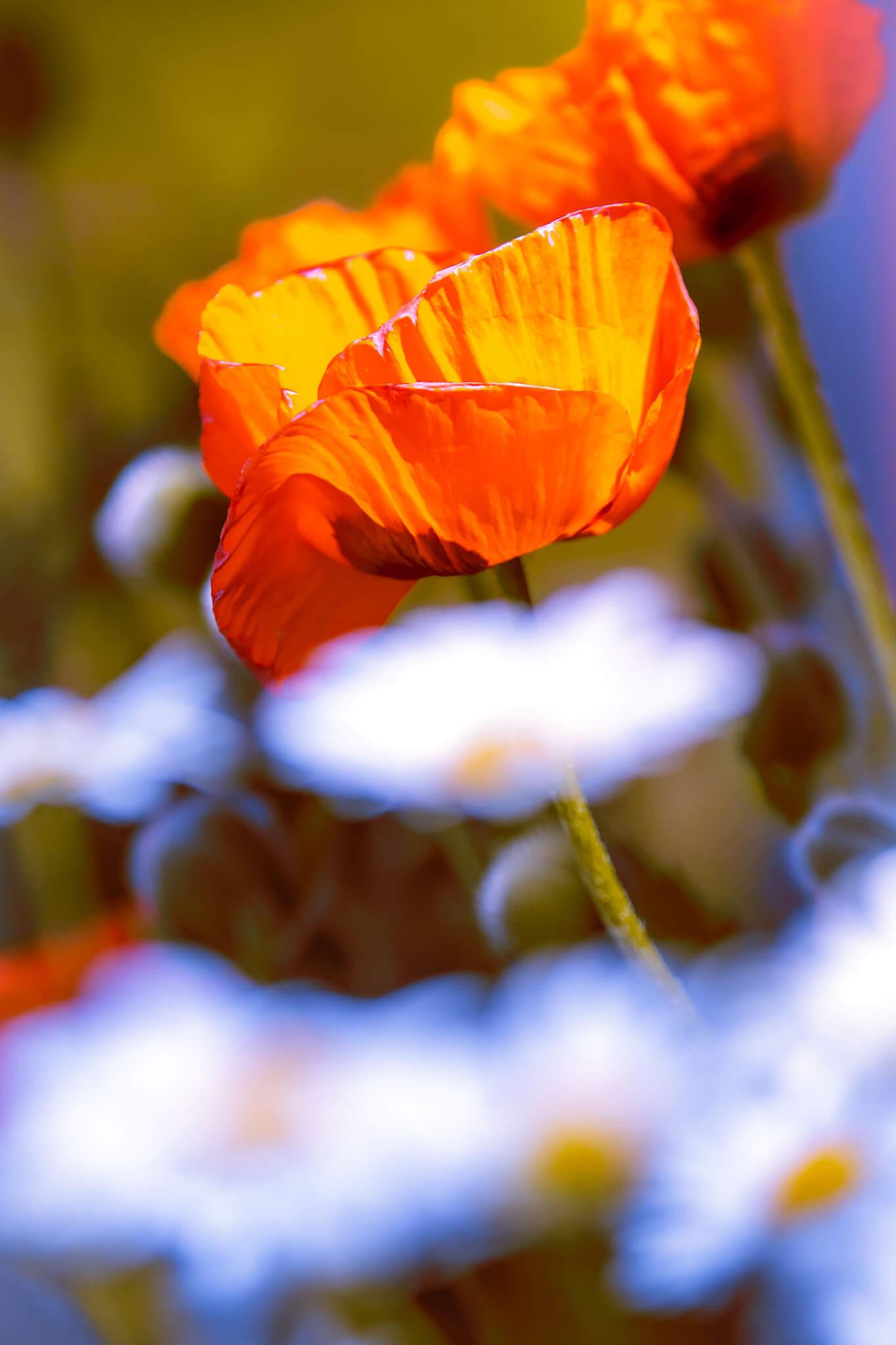 Mohn Margeriten Blüten Blumen Poppy Sommer