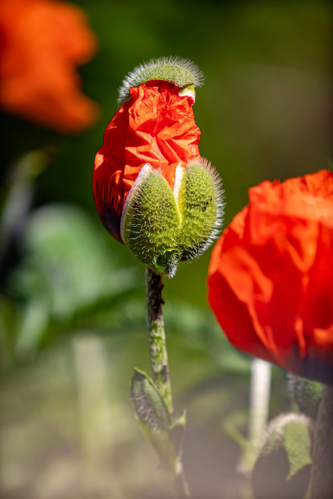 Mohn Poppy Blüte Erblühen Natur